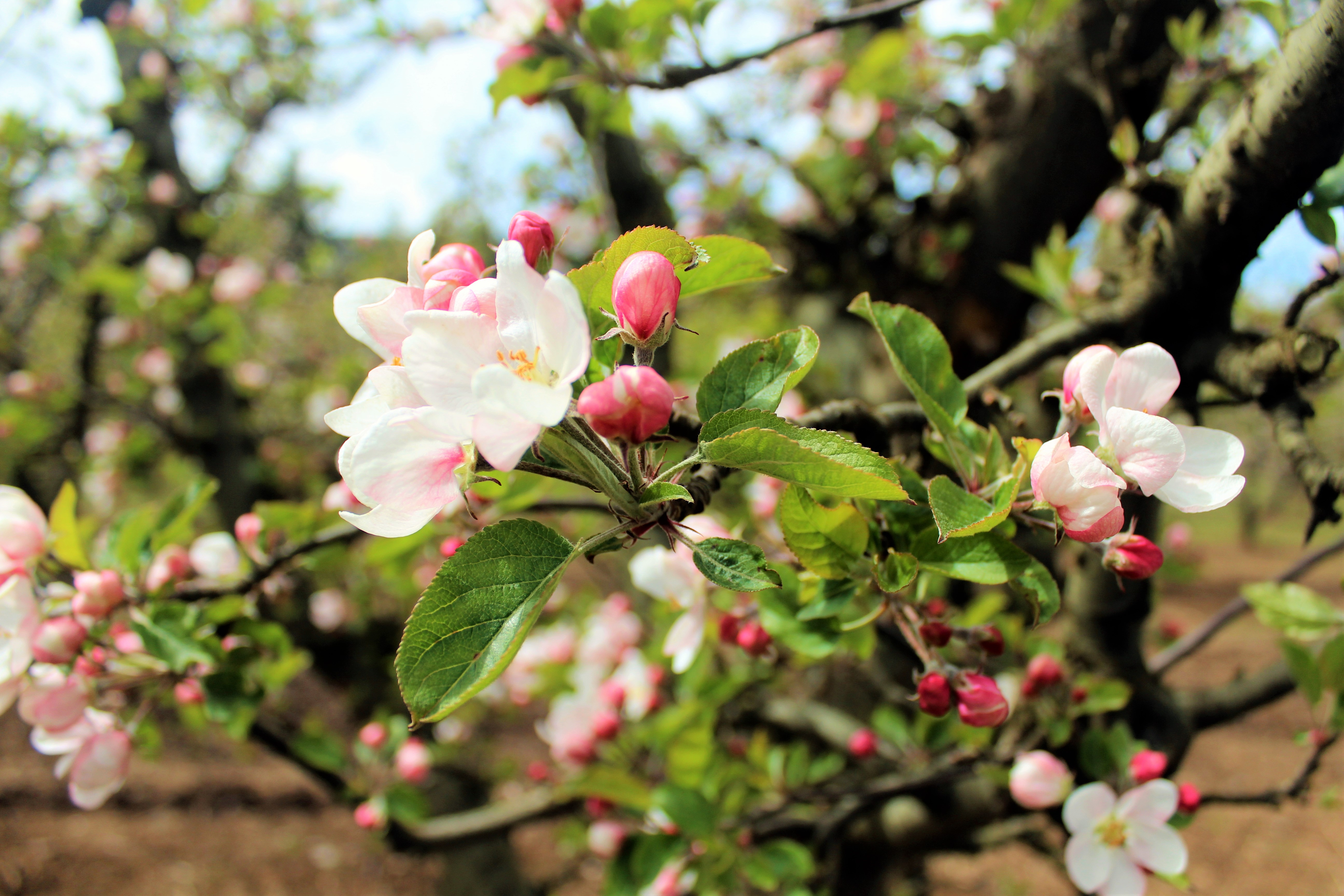 Apple Blossoms, photo by Carrie Uffindell