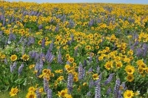 Wildflowers in the Columbia Gorge, Oregon