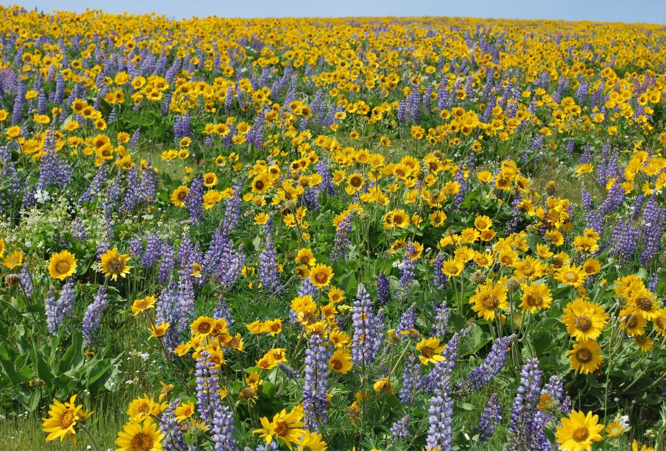 Columbia Gorge Wildflowers, Laura O. Foster