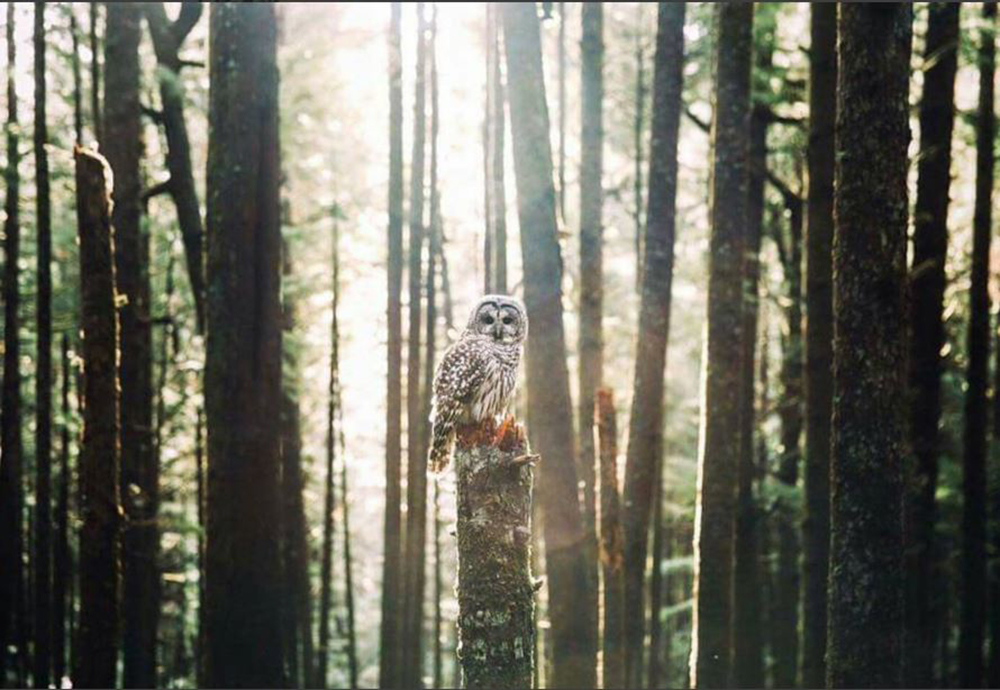 The owl in the forest Photo credit: @tillamookcoast