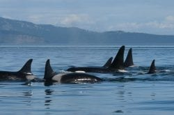 Introducing Orca Network: Your Northwest Connection For Whales & More