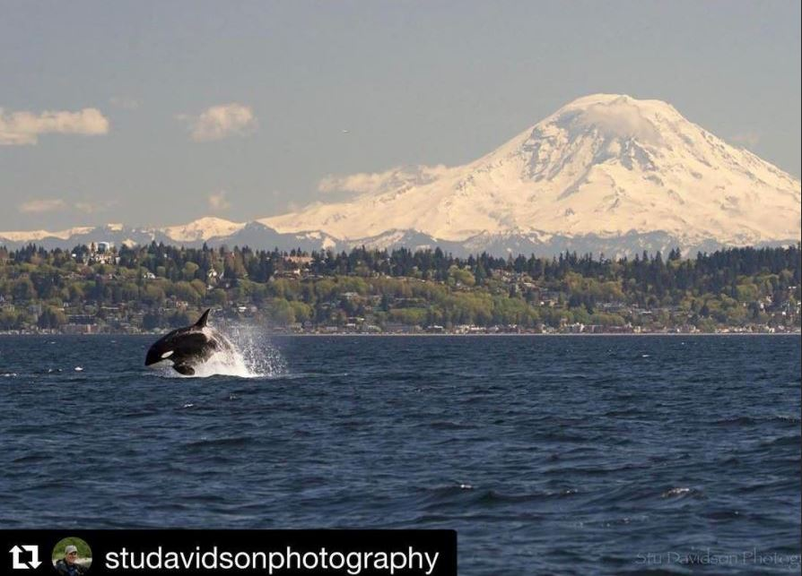 Orca in the Puget Sound, Washington Photo credit: studavidsonphotography