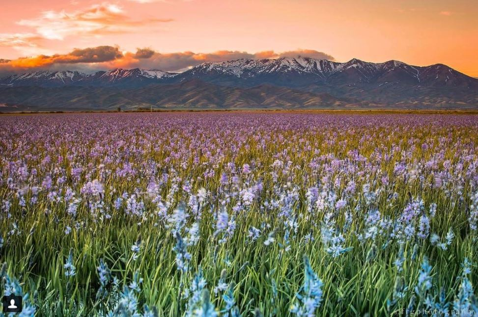 Camas County Idaho, wildflowers photo credit: @ flaviu.r.g._photography