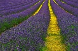 Where to Find the Northwest's Most Spectacular Lavender Festivals