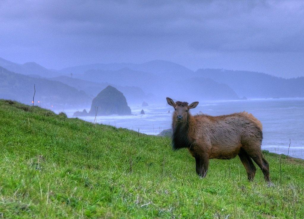 Elk on the Oregon Coast