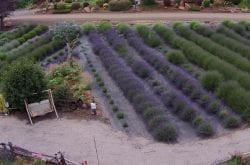 Helvetia Lavender Farm - Hillsboro, OR