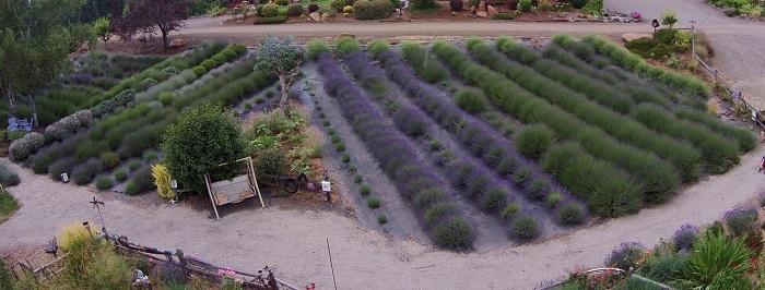 Helvetia Lavender Farm - Hillsboro, Oregon