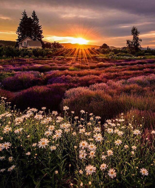 Hood River Lavender Farms - Oregon