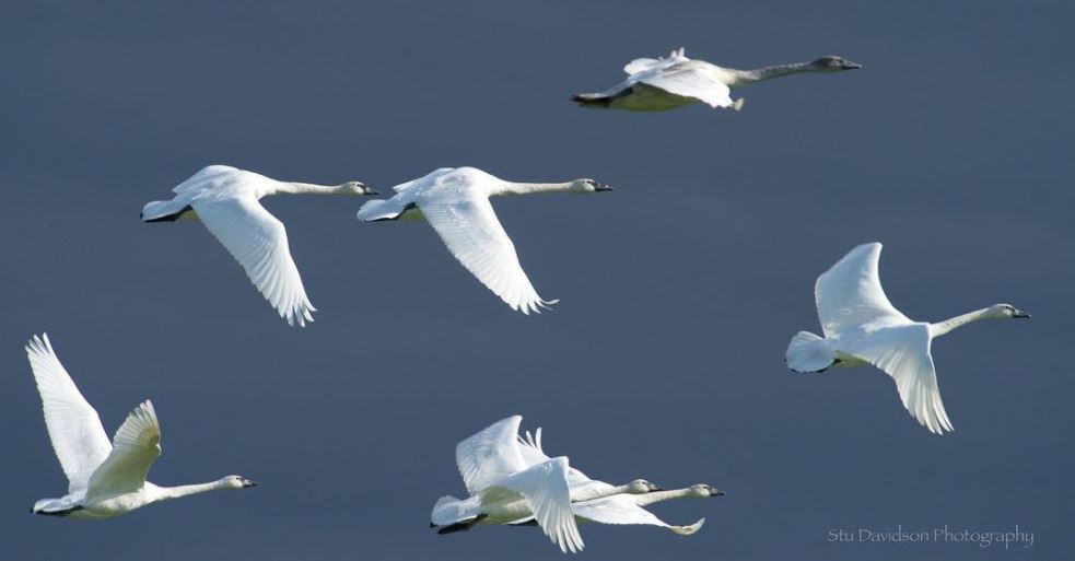 Trumpeter Swans and a Stormy Skagit Valley Sky: Northwest Photo of the Week