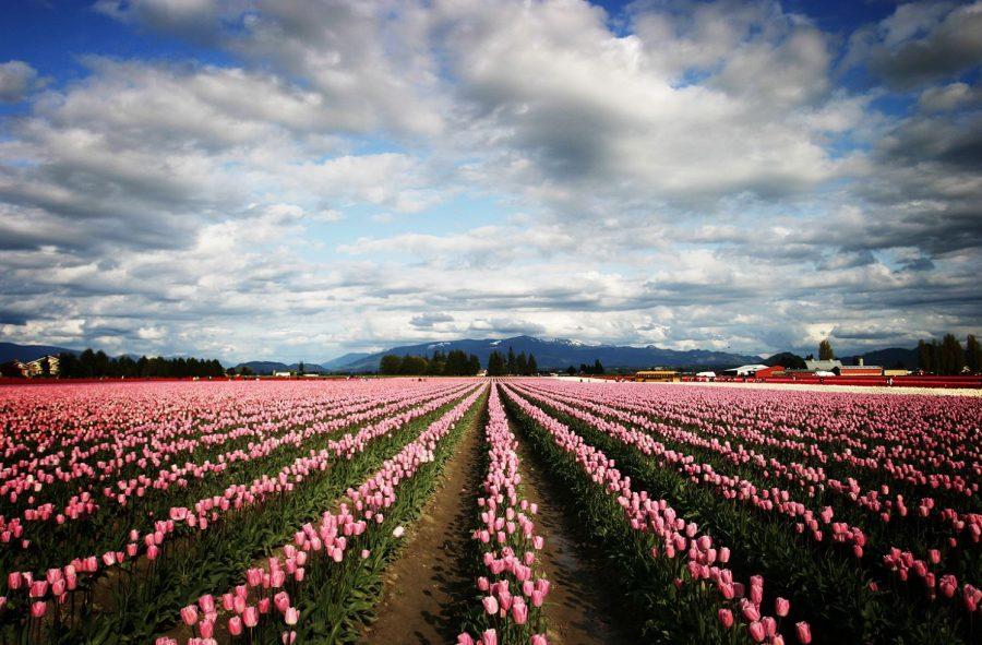 Skagit Valley Tulip Festival, photo credit: Wikimedia Commons