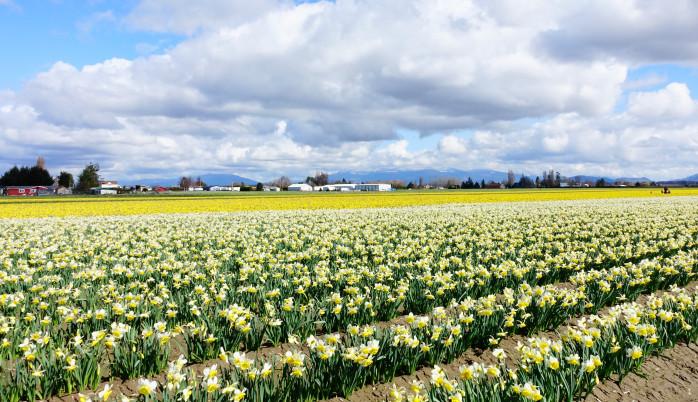 Skagit Valley Daffodil Fields