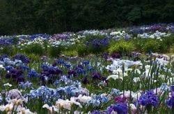 Aitkens Iris Gardens