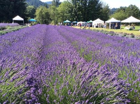 mckenzie river lavender field