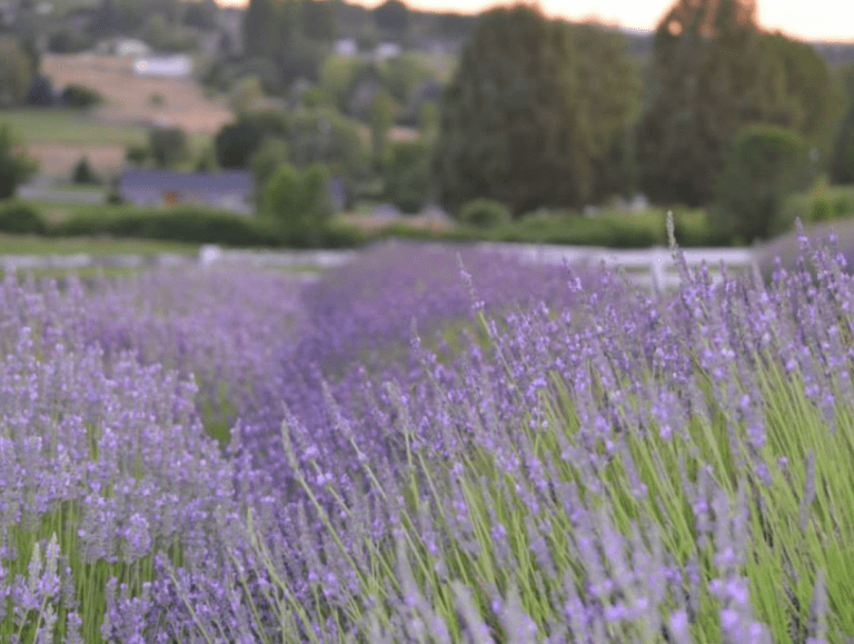 Where to Find the Northwest's Most Spectacular Lavender