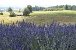 Helvetia Lavender Farm