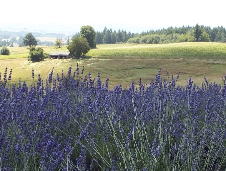 Helvetia Lavender Farm photo by Best of the Northwest