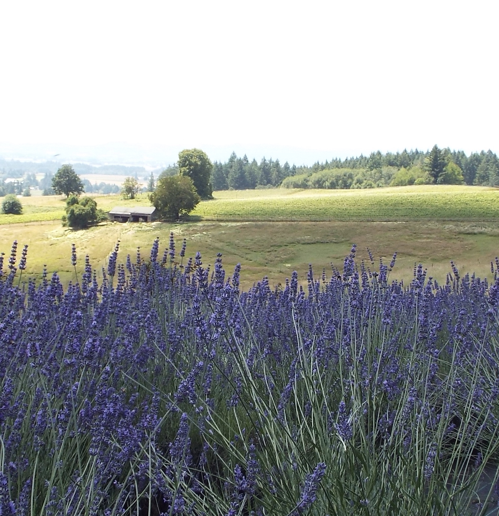 lavender farm at helvetia lavender in oregon