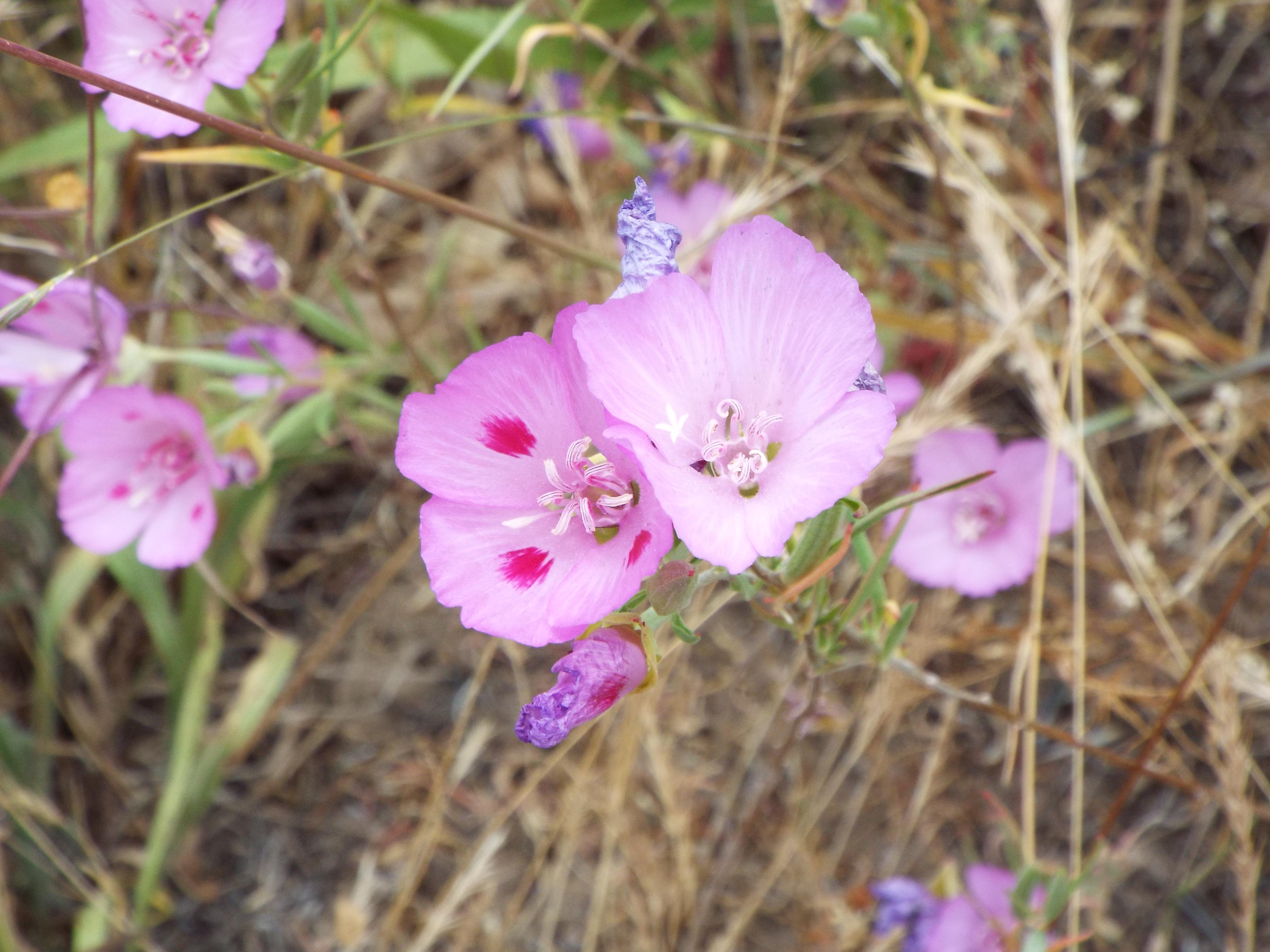 Wildflower found at Baskett Slough Wildlife refuge in the Willamette Valley