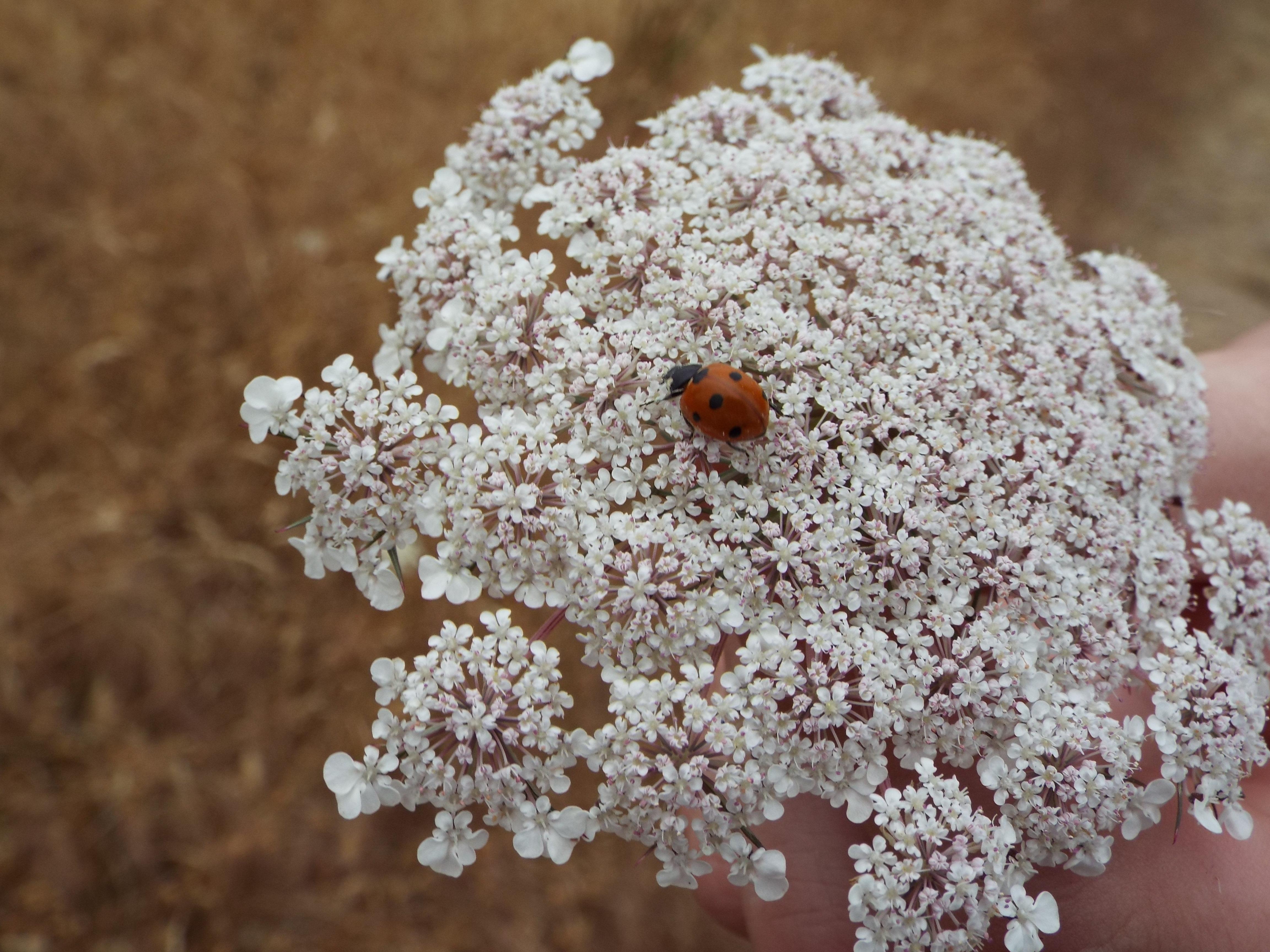 Queen anne's lace wildflower of willamette valley oregon