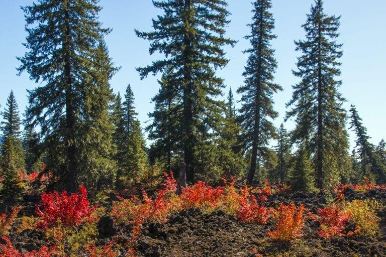 vine maples lava beds santiam pass oregon