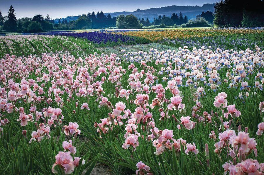 Photo courtesy Schreiner's Iris Garden