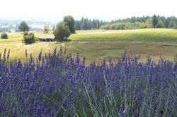 Helvetia Lavender Fields