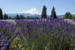 It's Lavender Season!