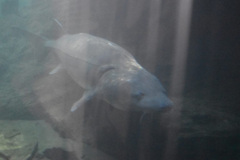 bonneville fish hatchery