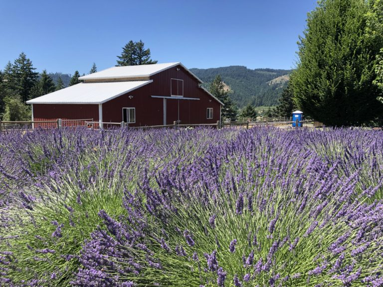 july in Oregon at Hood River lavender farm