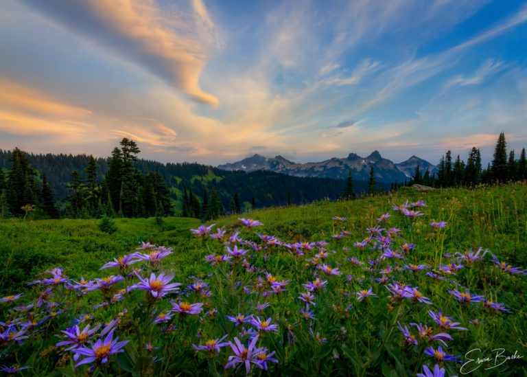 mt baker national park wild purple asters by photographer erwin buske